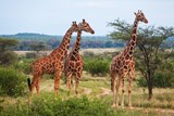 Biomimicry: Learning From the Giraffe